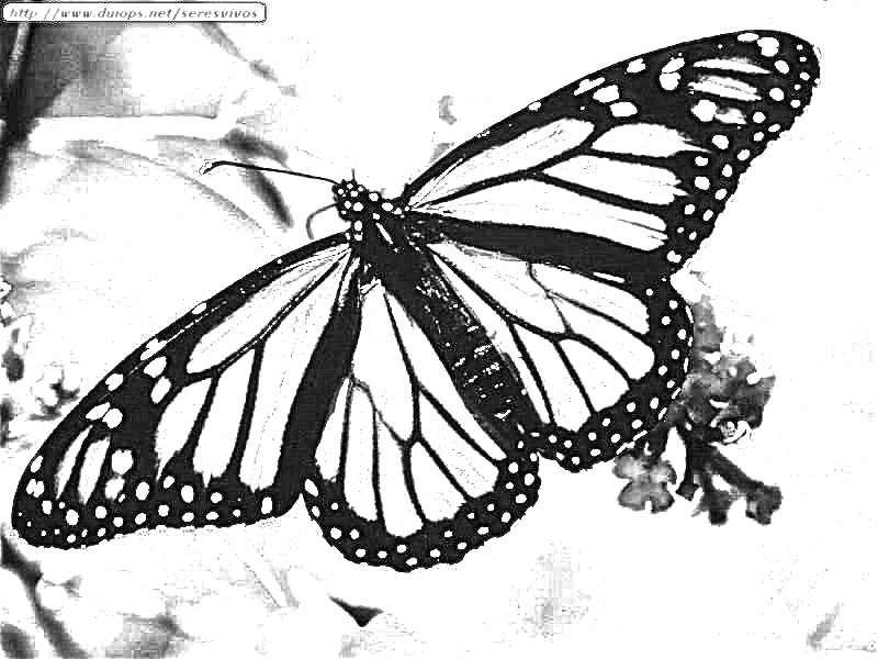 interesting monarch butterfly life cycle coloring page with life cycle of a butterfly coloring page